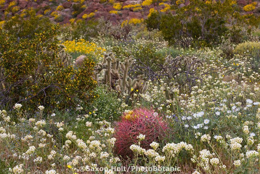 Natural desert garden Glorieta Canyon - Chylismia claviformis, Brown-eyed Primrose, Larrea tridentata, Creosote Bush, Rafinesquia neomexicana, Desert Chicory Sonoran Desert at Anza Borrego California State Park