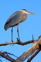A Great Blue Heron, ardea herodias, perches in a tree at Shadow Cliffs Regional Park near Livermore, California. Photographed 05/08