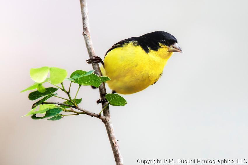 Lesser Goldfinch R M Buquoi Photographics