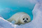 Harp seal, Iles de la Madeleine, Quebec, Canada