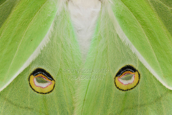Luna Moth (Actias luna), close up of eyespots on back wings, New Braunfels, Texas, USA