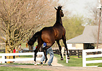 05 April 2010.  Hip #46 War Front - La Pascua (SWI) colt goes airborn while being shown.
