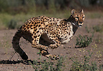 Six-year-old Moyo runs in the high-speed cheetah exercise course at the Animal Ark Wildlife Sanctuary on Thursday, June 30, 2011 north of Reno, Nev. .Photo by Cathleen Allison