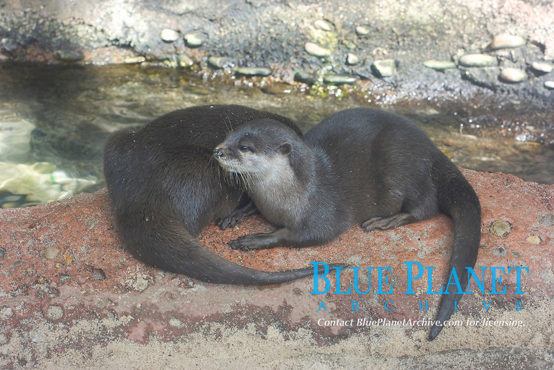 Asian Small-Clawed Otter ( Aonyx cinerea) (c) (do)