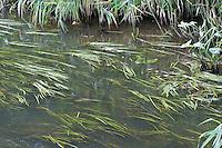 Gewöhnliches Pfeilkraut, bandförmige Unterwasserblätter auf der Wasseroberfläche und pfeilförmige Luftblätter am Ufer, Sagittaria sagittifolia, Common Arrowhead