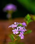 "Back Yard Verbena.  It's a matter of perspective, I guess.  My wife calls these weeds; I call them wildflowers.  But, whatever you call them, they brighten up our yard considerably here in Sedona during the spring, and I felt privileged to photograph them.  They show evidence of a bit of nibbling on their tiny petals by some anonymous insects, but that just seems to give them a ""beauty amid adversity"" mystique.<br /> <br /> Image ©2020 James D. Peterson"