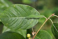 Zitronenfalter, Zitronen-Falter, Raupe frisst an Faulbaum, Gonepteryx rhamni, Raupe sitzt zur Tarnung auf der Mittelrippe des Blattes, brimstone, brimstone butterfly, caterpillar, Le Citron, Chenille. Tarnung, Tarntracht, Verbergetracht, Camouflage, Mimese, mimesis