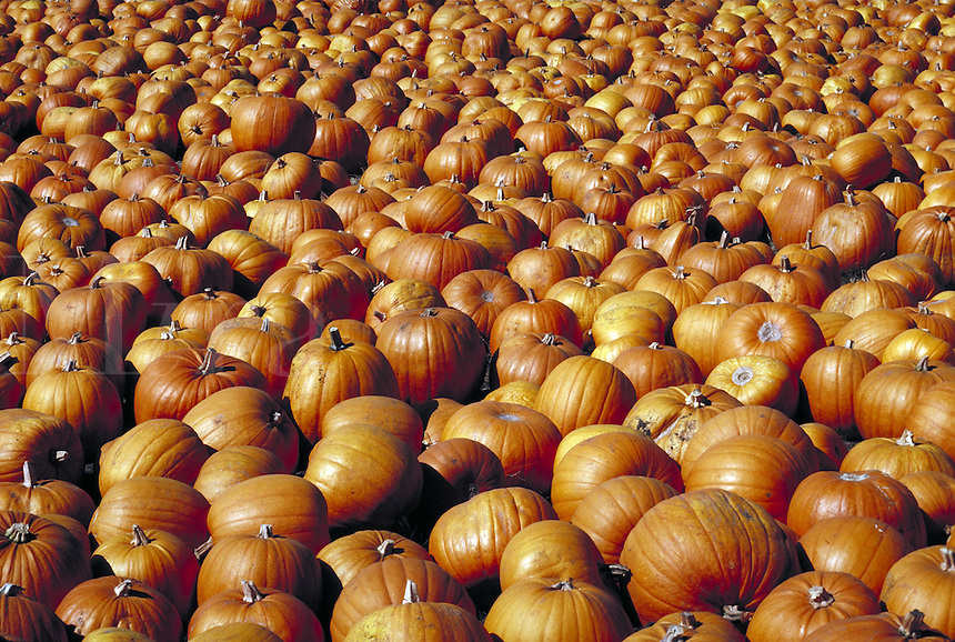 field of hundreds of orange pumpkins.  autumn, season, seasonal. California.
