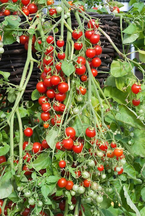 Cherry tomatoes 'Dasher' hanging from pot container basket