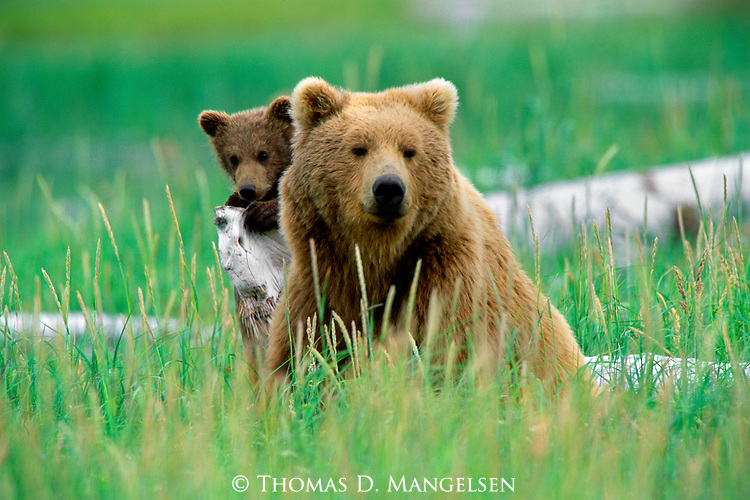 Peeking out from over its mother's shoulder, a small cub keeps a safe distance from other bears on its found refuge of a weathered spruce, washed ashore on high tides.