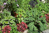 Vegetable kale with Ipomoea vines, begonias flowers, herb basil, geraniums, Lithodora, Canna, Buddleia butterfly bush, hosta, intermixed combination variety together in edible landscape