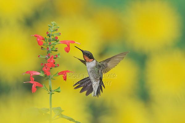 Ruby-throated Hummingbird (Archilochus colubris), male in flight feeding on Tropical Sage (Salvia coccinea) flower, Hill Country, Texas, USA