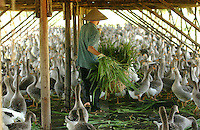 A goose farm near Beihai, Guangxi. Geese are reared here for ninety days before being transferred to warehouses where they are force fed. Foie Gras, the French delicacy, made from the liver of geese that have been force fed is now being produced by an enterprising Chinese businessman. ..PHOTO BY SINOPIX...PHOTO BY SINOPIX