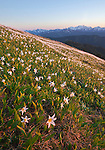 Avalanche lilies bloom in Olympic National Park with Mount Olympus on the horizon in Washington, USA