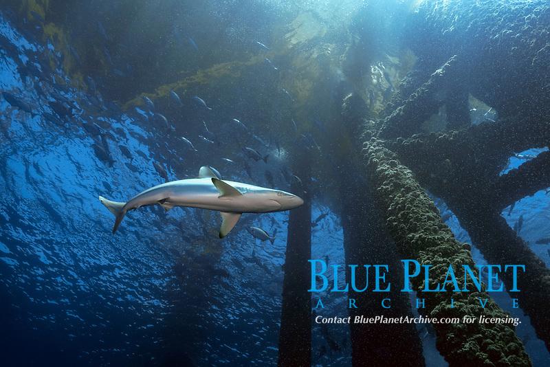 silky shark, Carcharhinus falciformis, also known as blackspot shark, grey whaler shark, olive shark, ridgeback shark, sickle shark, at Hi376A platform, Flower Garden Banks National Marine Sanctuary, Texas, USA, Gulf of Mexico, Atlantic Ocean