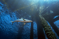 silky shark, Carcharhinus falciformis, also known as blackspot shark, grey whaler shark, olive shark, ridgeback shark, sickle shark, at Hi376A platform, Flower Garden Banks National Marine Sanctuary, Texas, USA, Gulf of Mexico, Atlantic Ocean