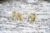 second year polar bear cubs, Ursus maritimus, Churchill, Manitoba, Canada, Arctic, polar bear, Ursus maritimus