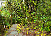 Walking track through rainforest near Franz Josef Glacier, Westland Tai Poutini National Park, West Coast, South Westland, UNESCO World Heritage Area, New Zealand, NZ