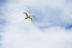 Red-tailed Tropicbird (Phaethon rubricauda) flying, Midway Atoll, Hawaiian Leeward Islands, Hawaii