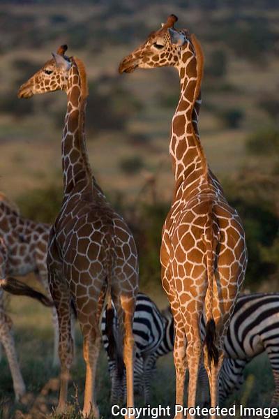 Giraffe and Zebra, Kenya