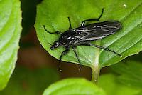 Märzfliege, Märzmücke, Haarmücke, Weibchen, Bibio marci, Märzhaarmücke, Markusfliege, Markushaarmücke, St. Mark's fly, Haarmücken, Bibionidae, march flies, St.Mark's flies