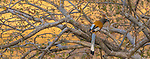 Rufus Treepie Ranthambore National Park, India