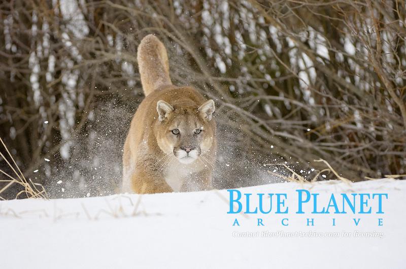Puma (Felis concolor), adult, running in snow, USA, America, North America