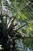 Ilhota, Brazil. Man in a coconut tree harvesting coconuts (Cocos nucifera).
