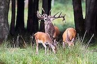 Rothirsch, Rot-Hirsch, Rotwild, Edelwild, Edelhirsch, Hirsch, Männchen röhrt, Brunft, Cervus elaphus, red deer