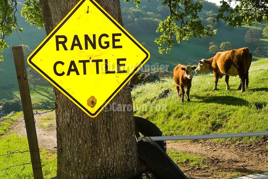 Yellow diamond traffic hazard sign: Range Cattle with range cattle, Vaira Ranch.