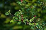 Juneberry growing in northern Wisconsin.