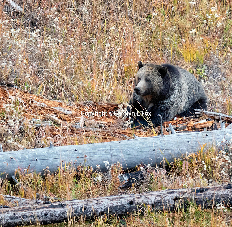 Grizzly bears are sometimes seen in Yellowstone National Park. Raspberry is often seen in Yellowstone.