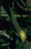 European Treefrog, Hyla arborea, adult sleeping on Cattail leave, Illmitz, Lake of Neusiedl, Austria, May 1996