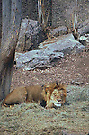 LION SLEEPS AT DENVER ZOO