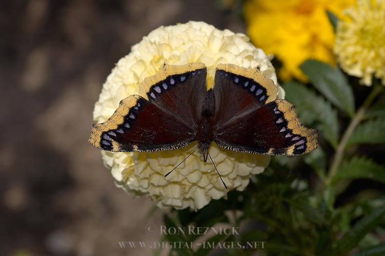 Mourning Cloak, Nymphalis antiopa, Southern California