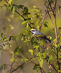 Male golden-winged warbler perched in a tree in northern Wisconsin.