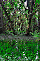 Vertical view of mossy green Quinault Rain Forest and ferns beside a quiet water pool with green plants. Olympic National Park, Washington State