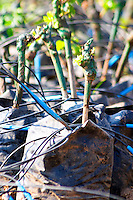 The winery's own vine nursery. Detail of young plants. Standing in plastic bags with watering tubes for irrigation. Thousands of vines. Hercegovina Vino, Mostar. Federation Bosne i Hercegovine. Bosnia Herzegovina, Europe.