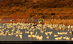 Snow Geese and Sandhill Cranes at Sunrise, Bosque del Apache Wildlife Refuge, New Mexico