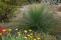 Xanthorrhoea preissii, Western Australian Grass Tree in UC Santa Cruz Arboretum and Botanic Garden