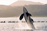 orca or killer whale, Orcinus orca, Keiko, the killer whale star of the blockbuster Hollywood movie, Free Willy, breaching, holding net behind, Vestmannaeyjar, Westman Islands, Iceland, North Atlantic Ocean