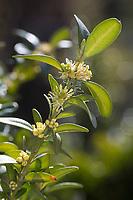 Buchsbaum, Buchs, blühend, Buxus sempervirens, box, common box, European box, boxwood, buis commun, buis toujours vert