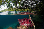 Soft coral in the shallow mangroves, split level. North Raja Ampat, West Papua, Indonesia