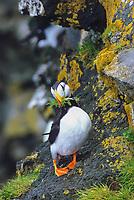 Horned Puffin with nesting grass in beak, St. Paul Island, Pribilof Islands, Alaska.