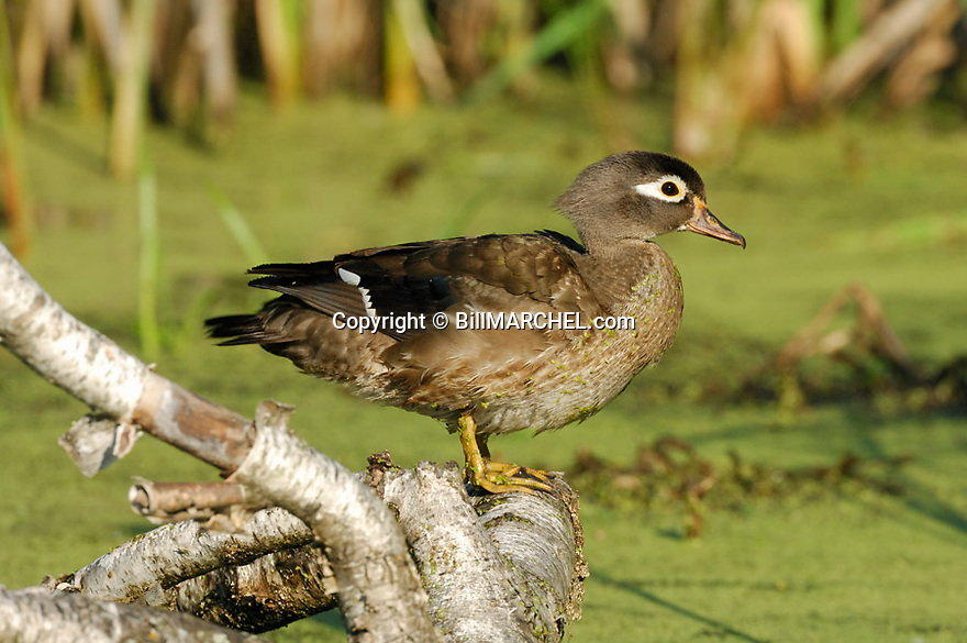 00360-088.20 Wood Duck (DIGITAL) hen is on a log over a marsh containing duck weed and cattails.  Hunt, wetlands.  H5R1