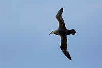 Southern Giant Petrel, Macronectes giganteus, Saunders Island, Falkland Islands, South Atlantic