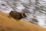 Bighorn sheep, Colville National Forest, Washington