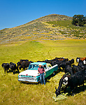 Jason Haase feeding cattle from his 1968 Ford Pickup Truck, San Luis Obispo, California