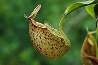 Kannenpflanze, Nepenthes hookeriana, Kannenpflanzengewächse, Nepenthaceae, tropical pitcher plants
