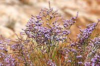 Wild flowers at Riserva Naturale dello Zingaro [ Zingaro nature reserve ] Scopello, Castellammare Del Golfo , Sicily.